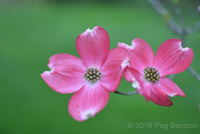 Peg bension DOuble Pink Dogwood